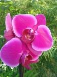 Орхидеи 185 руб