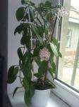 Комнатный цветок хойя
