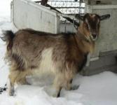 Продаю беременную козу / летом - 1.5 л молока на удой, сейчас-см. фото 850 Lei