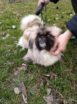Продаются щенки королевского пекинеса!!! (недорого)