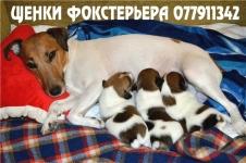 Продаются щенки гладкошерстного фокстерьера перспективные для выставок, охоты и просто для любви и дружбы.                                                                                                                                                    О