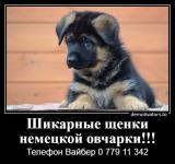 Продаетса мальчик щенок немецкой овчарки