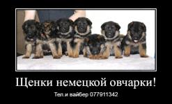 Предлагаются к продаже щенки немецкой овчарки