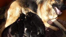 Продаются чистокровные  щенки немецкой овчарки 50$ (077990654).