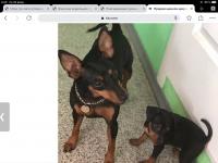 Продам щенков цвергпинчера (мини доберманы)