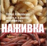 Продам опарыша оптом от 1 кг и червя